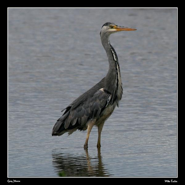 Old grey heron? by oldgreyheron