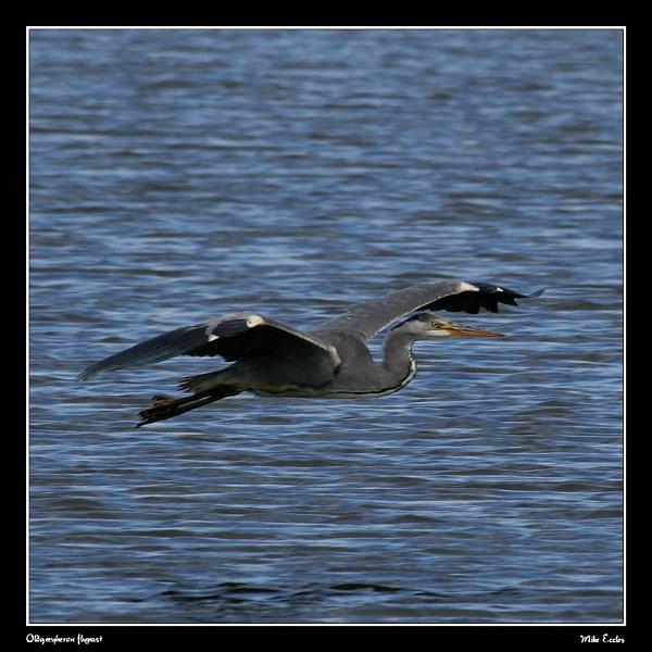 Grey heron flying by oldgreyheron