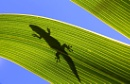 Silhouette of a Phelsuma day Gecko on a palm leaf, Mauritius
