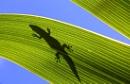 Silhouette of a Phelsuma day Gecko on a palm leaf, Mauritius