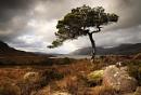 Loch Maree Pine