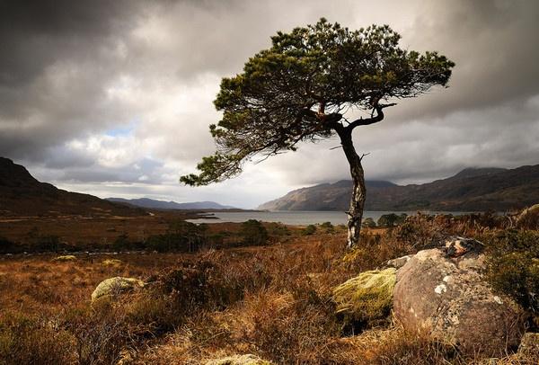 Loch Maree Pine by JohnParminter