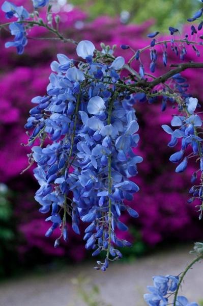 wisteria by TrevorH