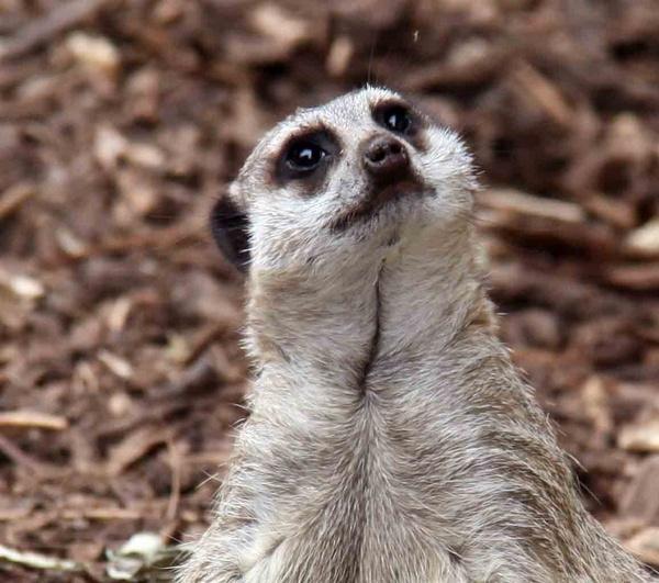 meerkat by KeithMac