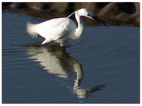 Little Egret 3 by stevieasp