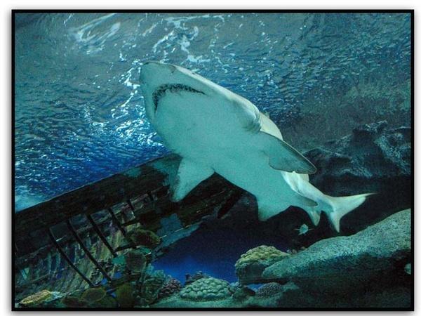 Shark by stevieasp