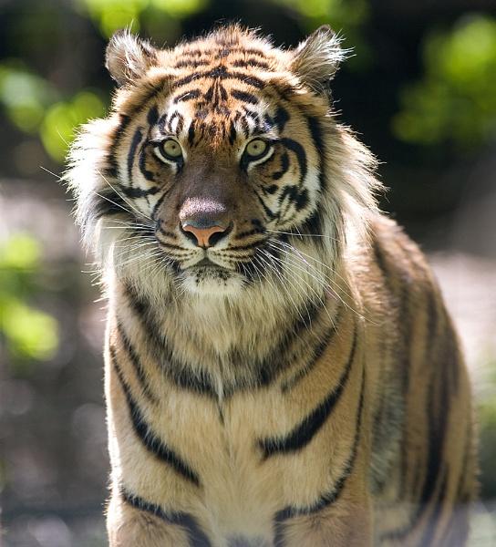 Tiger by themoabird