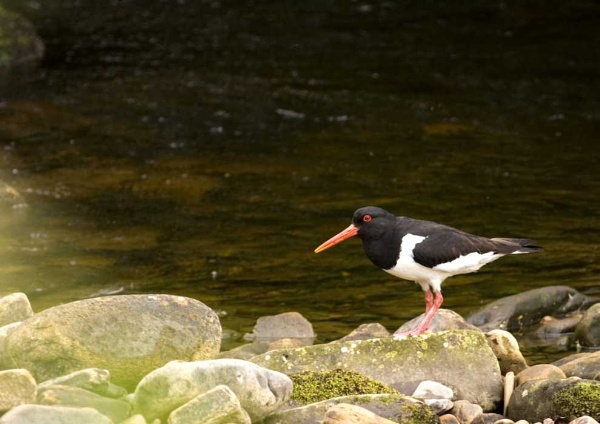 Oystercatcher by Graywolf
