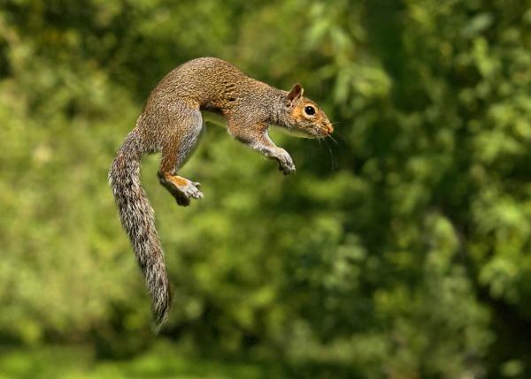 Flying Squirrel by arhb