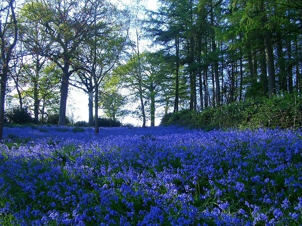The Magic of English Bluebells by jbailey