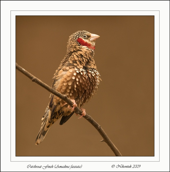 Cut-throat finch by FeatherFriend