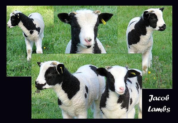 Jacob Lambs by kraziteach
