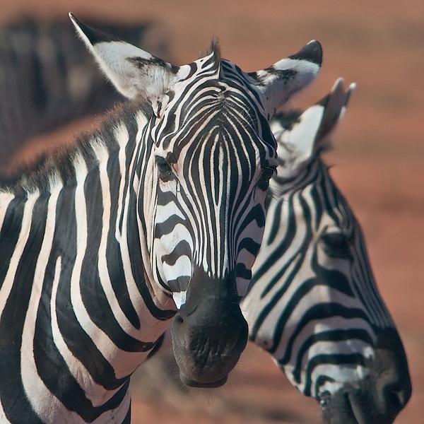 Zebra by jos