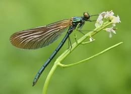 demoiselle fly