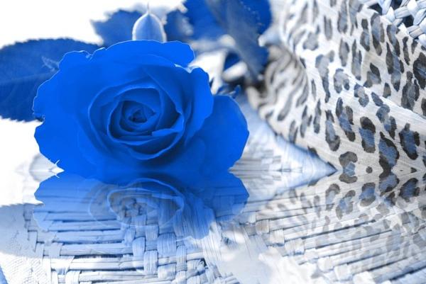 Blue rose?