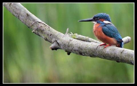 Kingfisher by jaymark1