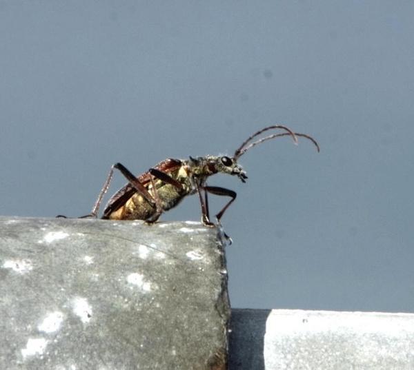 Long Horned Beetle by ukdrifter