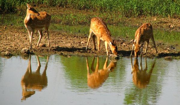 Spotted Deer by Saibal