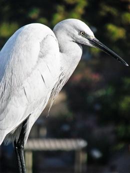 Nile Egret by HelenHiggs