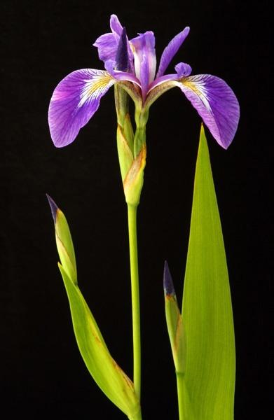iris by alan h.