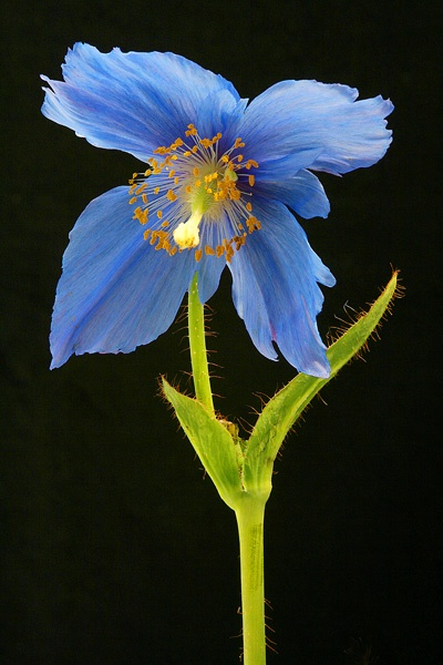 meconopsis2 by alan h.