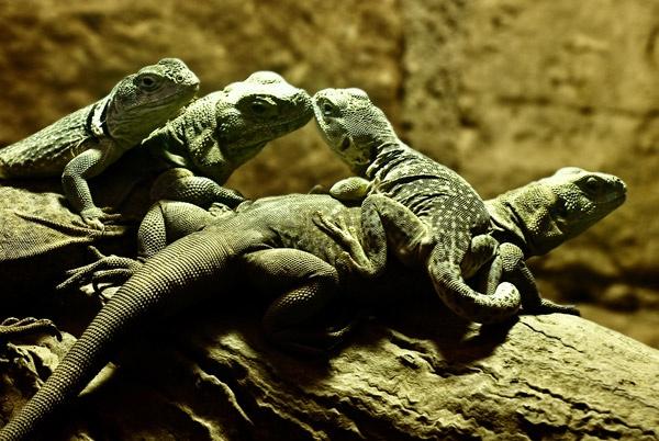 Lizards by Gertmint