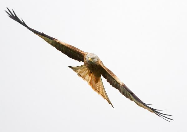 Red Kite by strawman