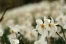 gossip flowers
