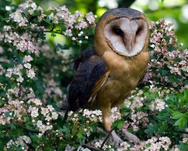 Barn Owl - Rosie by bppowell