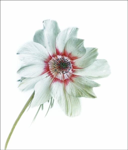 anemone by jacquienewsham