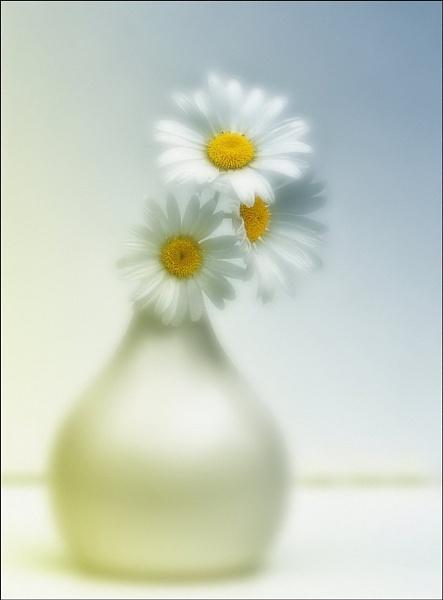 daisys by jacquienewsham