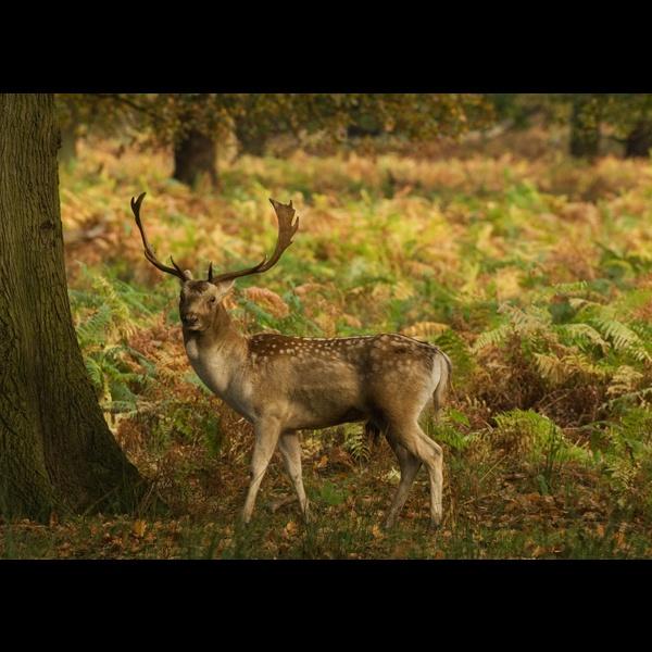 Fallow buck by Nick_Hilton