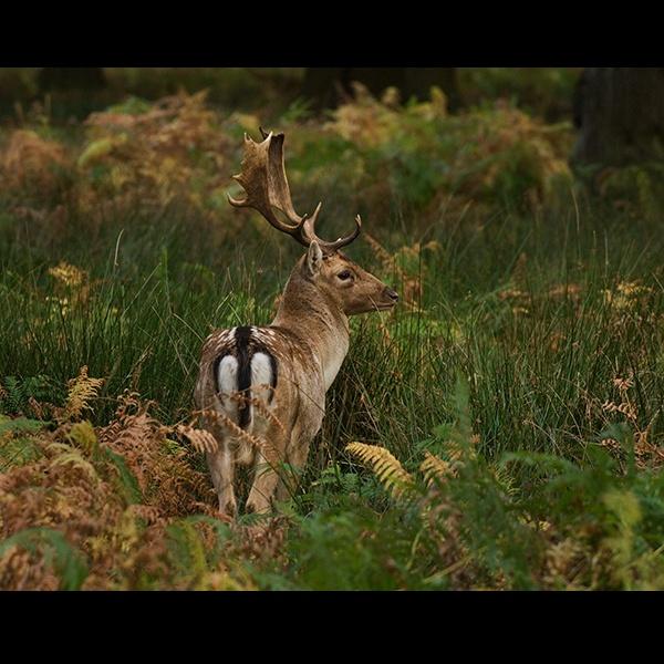 Buck by Nick_Hilton
