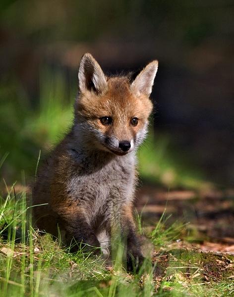 Fox Cub by graham1944