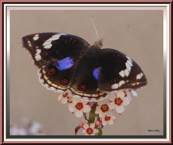 Blue Pansy Butterfly by MaryMac