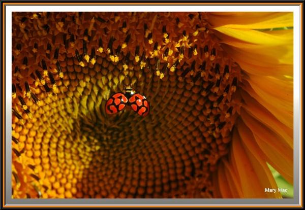 Sunflower Surprise by MaryMac