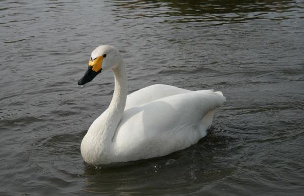 Bewick Swan by Glostopcat