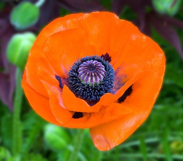 Poppy by Artois