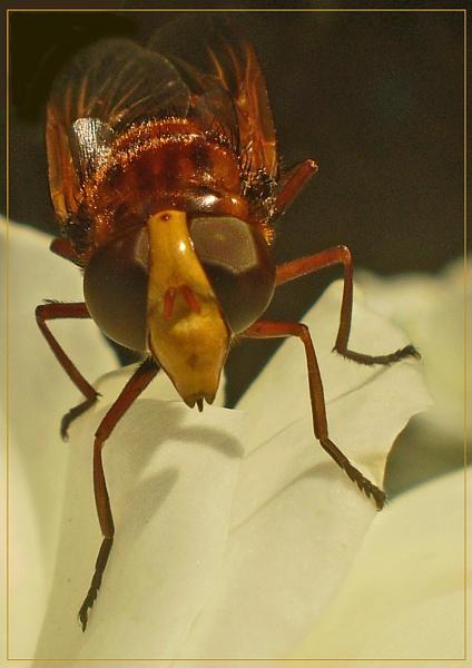 giant hornet? by CarolG