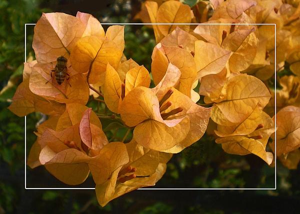 apricot bougainvillea by CarolG