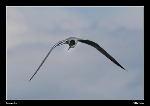 Common tern by oldgreyheron