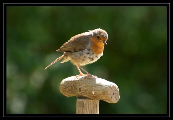 Robin On A Spade by GaryR