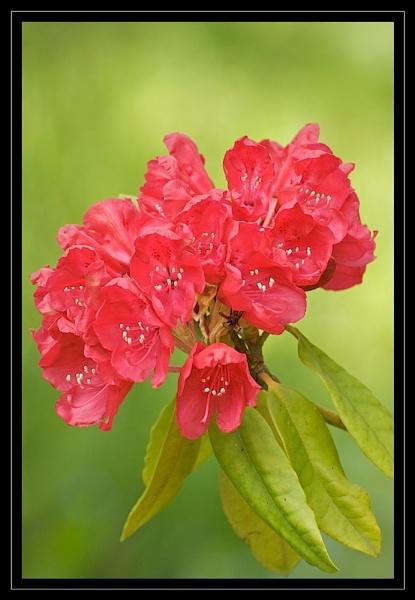 Rhododendron by GaryR