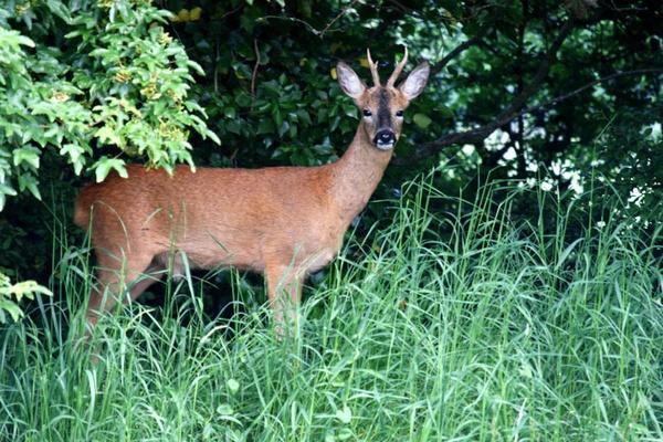 Deer by BeckC