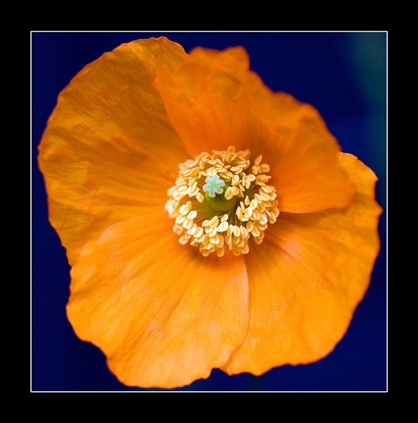 poppy by ABiggs