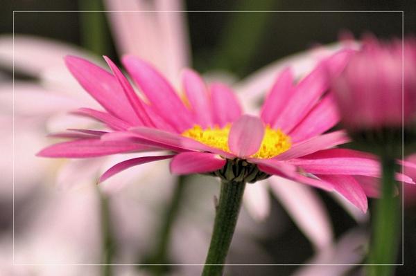 daisy daydreams by kraziteach
