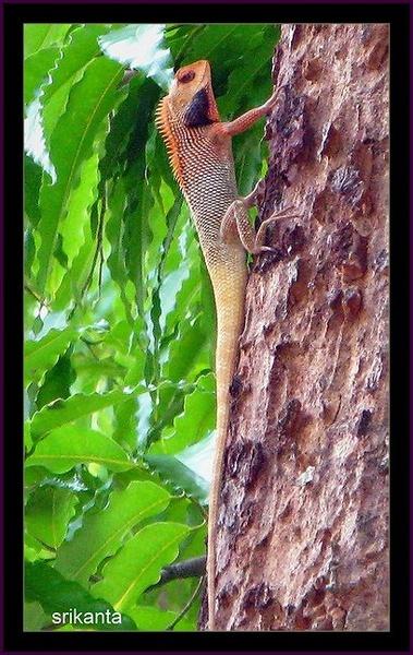 Calotes.sp( Garden Lizard) by srikanta