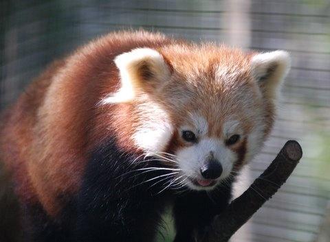 Beautiful Red Panda by jacqui123