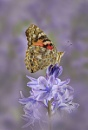 Painted Lady on Bluebell