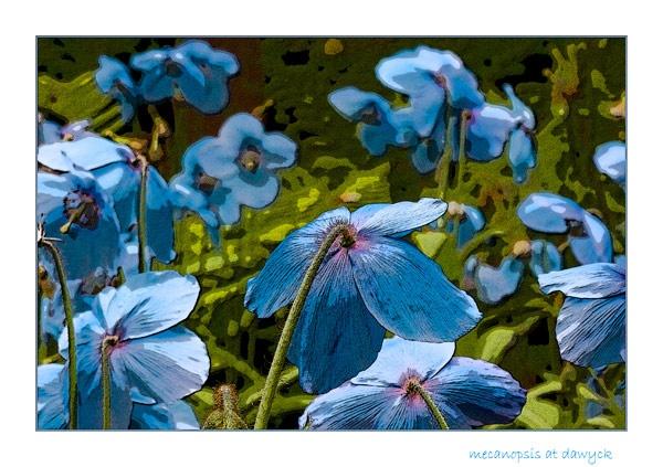 himalyan blue poppies by dwarf